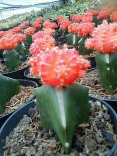 Kaktus Mini Orange