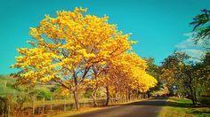 Árbol Nacional de Venezuela - ARAGUANEY