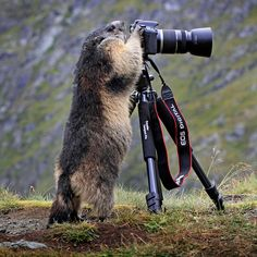 An alpine marmot looks through a photographer's unattended camera on the Grossglockner, Austria's highest mountain. Stefan Meyers had been taking photos of marmots and walked away from his camera. He watched as one of them approached his camera, stood on its hind legs and appeared to look through the lens. Stefan quickly grabbed his friend's equipment to capture the moment.
