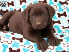Covington, English Chocolate Lab puppy for sale from Bird in Hand, PA i want him
