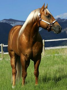 Dream horse! The most beautiful palomino I've ever seen, except Miss. Icy of course!