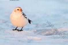 Pulmunen - pulmunen Plectrophenax nivalis lintu linnut varpuslinnut sirkut… Bird, Animals, Animales, Animaux, Birds, Animal, Animais