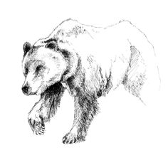 how to draw grizzly bear fur in pen and ink - Google Search