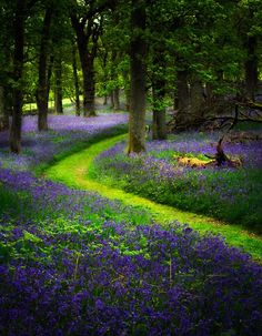 Bluebell path, Perthshire, Scotland by David Mould