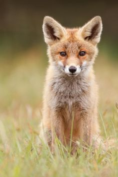 Brave New Fox Kit Photograph by Roeselien Raimond