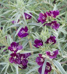 Silkkikukka 'Burgundy Wine'/Clarkia purpurea ssp. quadrivulnera