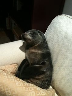 Lucky, a young fur seal pup, wandered across a busy street, through a cat flap, and up some stairs into a kitchen before climbing up onto the sofa in Annette Swoffer's home in Bay of Plenty, NZ. where it took a nap! Conservation workers were able to return him safely to the sea! via nzherald.co.nz Photo by Department of Conservation