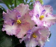 African Violet - Rob's Smarty Pants