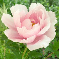 Tree Peonies look exotic and are truly unique. Its large light pink blossoms are. Tree Peonies look exotic and are truly unique. Its large light pink blossoms are delicate and ruffled and can be up Exotic Flowers, Real Flowers, Pink Flowers, Beautiful Flowers, Yellow Roses, Tree Peony, Peony Flower, Flower Art, Cactus Flower