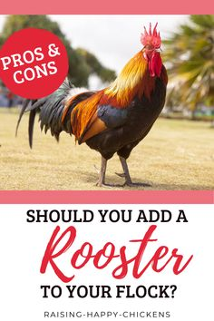 Here are 5 good reasons why you shouldn't have a rooster - and more good reasons why you should! Yes, there are pros and cons when it comes to adding a rooster to your flock. Best to be informed in advance before making this important decision. Keep reading... Raising Backyard Chickens, Important Facts, Chicken Breeds, Flocking, How To Stay Healthy, Things To Come, Roosters, Reading, Animals