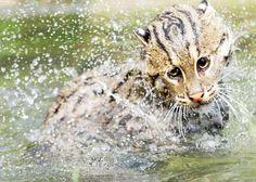fishing cat - Google Search