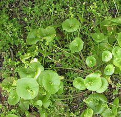 Claytonia perfoliata - Wikipedia, the free encyclopedia