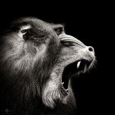 Mandrill Monkey, Gladiator Tattoo, Monkey World, Baboon, Tier Fotos, Black Tattoos, Animal Kingdom, Art Reference, Cool Pictures