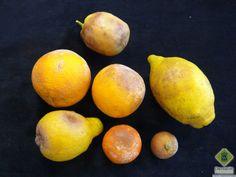 Frutos de cítricos con diferente grado de ataque de Phytophthora hibernalis