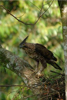 hawks and eagles | javan hawk eagle the field identification of the javan hawk eagle has ...