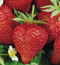 Ozark Beauty strawberry Rootstock  20 Plants by DixieSalvationFarm, $3.99