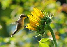 Flowers hummingbirds like.  Esp. like trumpet vine grown as a tree.