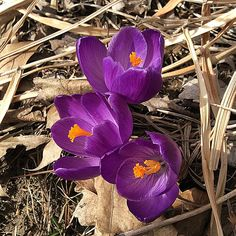 My crocus are blooming!  And I saw my first honeybee of the year!  I tried to get a photo of her on these crocus blooms, but she buzzed away . Copyright © 2015 Tofu Fairy's Brain Pile - All Rights Reserved #nature #flower #crocus