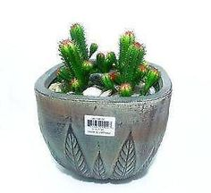 Image result for cactus plants