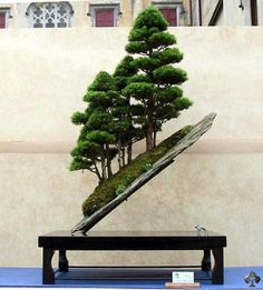 Beautiful, exactly what Bonsai in it's role as a miniature. This one has exceptionally dense foliage.the hall mark of the Bonsai. Truly a gorgeous specimen.