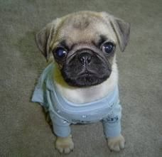 I really want a baby pug! I know someone who has a litter coming soon and am seriously considering...