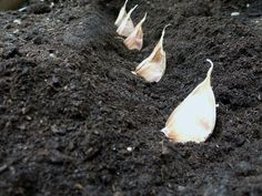 How To Urban Garden Never buy garlic again. Grow your own and plenty of it with these 5 tips Water Plants, Water Garden, Planter Ail, Container Gardening, Gardening Tips, Keep Mice Away, Planting Garlic, La Germination, Avocado Seed