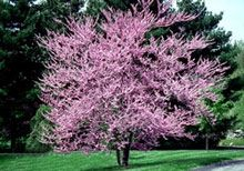 This eastern redbud is totally going to be in the backyard...so beautiful and can be grown in califorina..score!