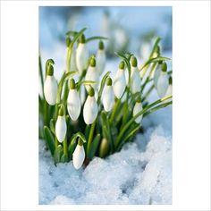 Galanthus nivalis - Snowdrops, February