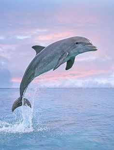 Dolphins are my favorite animal, and I love the way they swim and are so happy. God must have been smiling when He made dolphins! The Ocean, Ocean Life, Orcas, Dolphin Photos, Dolphin Images, Underwater Animals, Photo Animaliere, Bottlenose Dolphin, Ocean Creatures