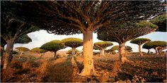 The Wonder Land of Socotra, Yemen - NYTimes.com