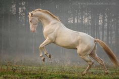 Horse / Samurai-Shah  (Malgorzata (Gosia) Makosa)
