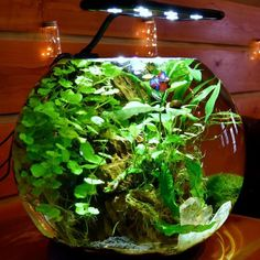 42 Stunning Aquarium Design Ideas for Indoor Decorations Nano Aquarium, Nature Aquarium, Aquarium Design, Planted Aquarium, Aquarium Fish, Aquarium Garden, Glass Aquarium, Aquascaping, Betta Fish Bowl