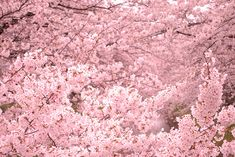 Cherry blossoms started to bloom.;D