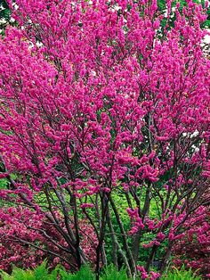 Judas tree (Cercis siliquastrum)  Mature size: 30 feet tall and wide. Ideal growing conditions: full sun, well-drained soil