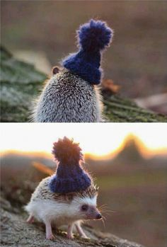 A Hedgehog In A Little Beanie - GAG