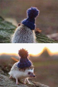 A Hedgehog In A Little Beanie - GAG