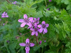 Reigersbek - Erodium cicutarium. - Foto gemaakt door pinterester Adri v.d.S - Bord Wilde Rode bloemen - Red wildflowers