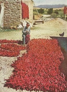 A farmer strings his chili pods in New Mexico  National Geographic | May 1938