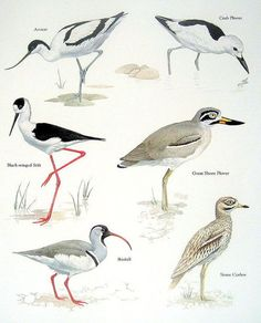 Avocet, Crab Plover, Great Shore Plover, Stone Curlew, IbisBill, Black Winged Stilt.....clockwise from upper left corner....Encyclopedia of World Birds....via My Sunshine Vintage on ETSY