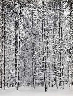 white on Pine Forest in Yosemite National Park, 1932 by Ansel Adams. I like Ansel Adams. Ansel Adams Photography, Nature Photography, Fishing Photography, Winter Photography, Urban Photography, Color Photography, Yosemite National Park, National Parks, Straight Photography