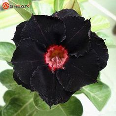 Rare Black Desert Rose Seeds Ornamental Plants Balcony Potted Flowers Seeds Adenium Obesum Seed 1 Particles / lot