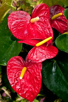Anthuriums are one of the most popular tropical flowers with a long vase life of about six weeks. In Greek, the name Anthurium means tail flower. It is a genus of more than 800 species found in the New World tropics. The Anthurium is also known as Painted Tongue, Flamingo Flower (Flamingo Lily) or Tail Flower.