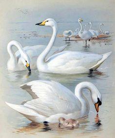 swans swimming