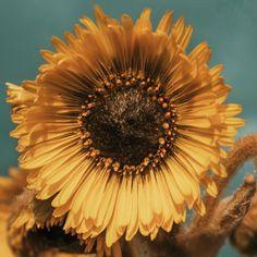 Flor de frailejon (Espeletia grandiflora)