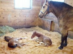"""Have you heard about Cookie the """"Supermare"""" from Pine View Farms? She is nurse mare to TWO babies! 