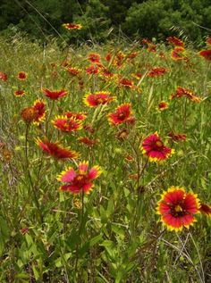 Oklahoma's state wildflower, the Indian Blanket, covers the countryside with bright colors at Roman Nose State Park in Watonga.