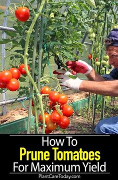 Pruning tomato plants for maximum yield, get more tomatoes, larger fruit, that ripens quicker. We share [HOW TO PRUNING DETAILS] # container Gardening Pruning Tomato Plants: How to Prune Tomatoes For Maximum Yield Growing Tomatoes In Containers, Growing Vegetables, Growing Plants, Fresh Vegetables, Organic Gardening, Gardening Tips, Flower Gardening, Hydroponic Gardening, Gardening Magazines