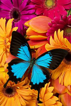 Blue butterfly on brightly colored flowers Metal Print by Garry Gay. All metal prints are professionally printed, packaged, and shipped within 3 - 4 business days and delivered ready-to-hang on your wall. Choose from multiple sizes and mounting options. Flowers Wallpaper, Butterfly Wallpaper, Blue Butterfly, Morpho Butterfly, Blue Morpho, Butterfly Flowers, Flowers Garden, Colorful Flowers, Hd Wallpaper