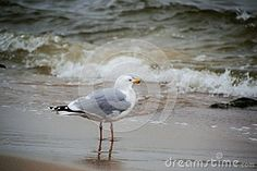 Beautiful Seagull Portrait. Sea in the Background.