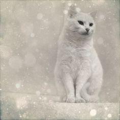 i love white cats... ;)